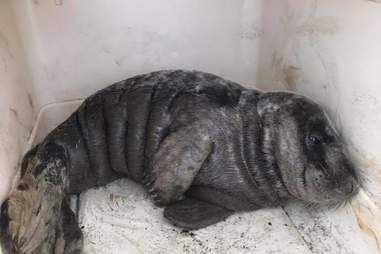 Gray seal in kennel