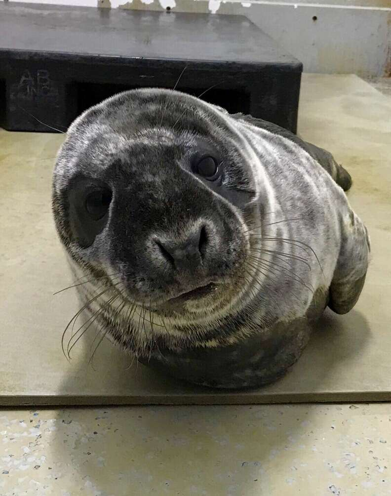 Saco the seal feeling better in rehab