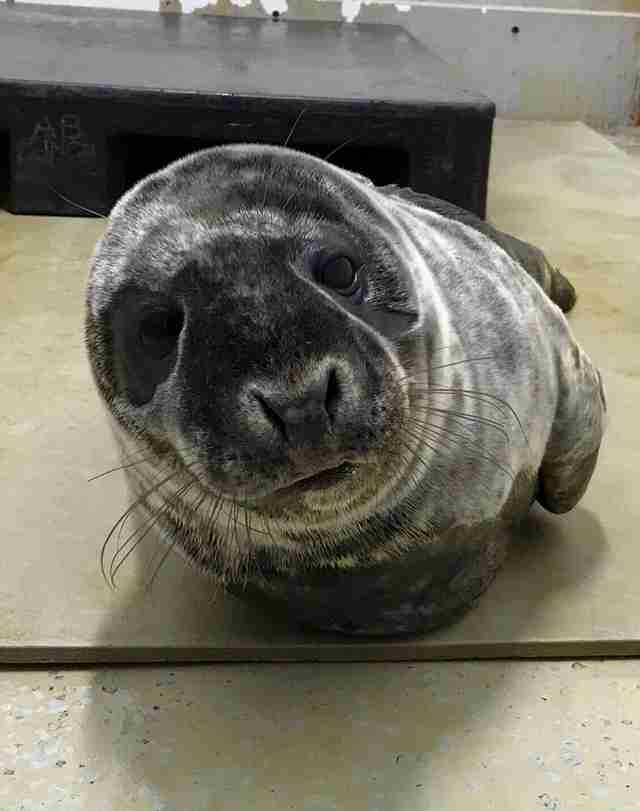 Saco the seal feeling better in rehab