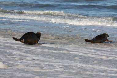 Gray seals playing on the beach