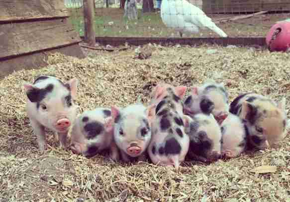 Piglets saved from breeder just in time