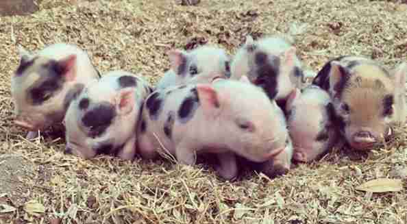 Piglets born at Florida sanctuary after mom was rescued