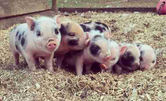 Piglets born at sanctuary after mom was rescued