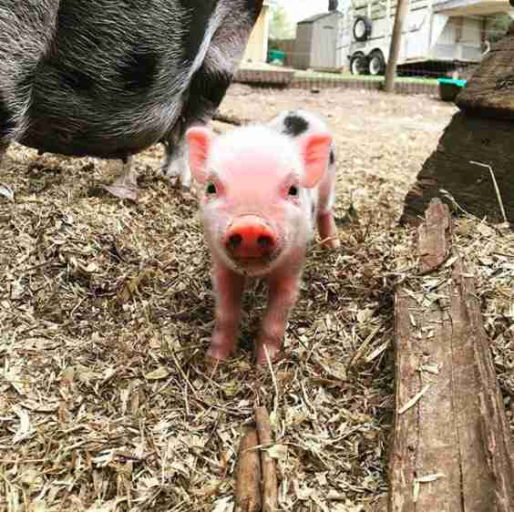 Piglet born at sanctuary
