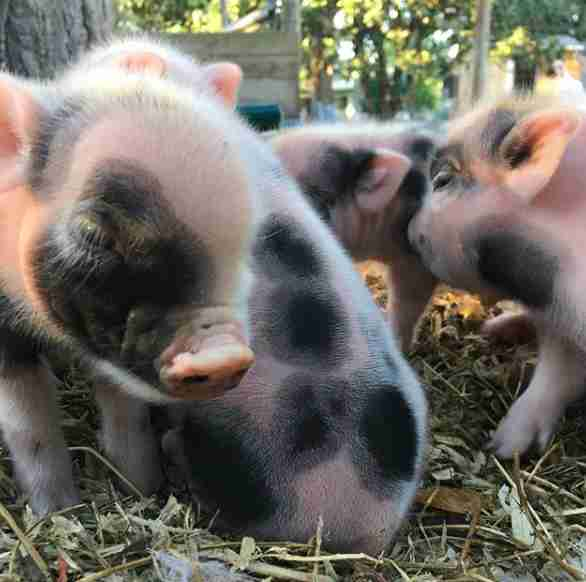 Piglets growing up at Florida sanctuary