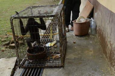 Wild gibbon inside tiny cage