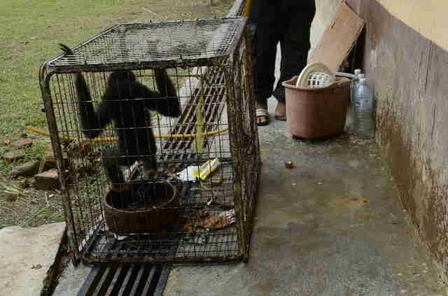 Wild gibbon inside tiny cage