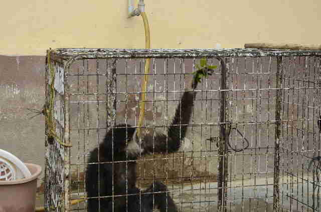 Wild gibbon locked up in cage