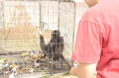 Wild gibbon locked up in tiny cage