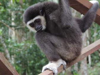 Rescued gibbon inside enclosure
