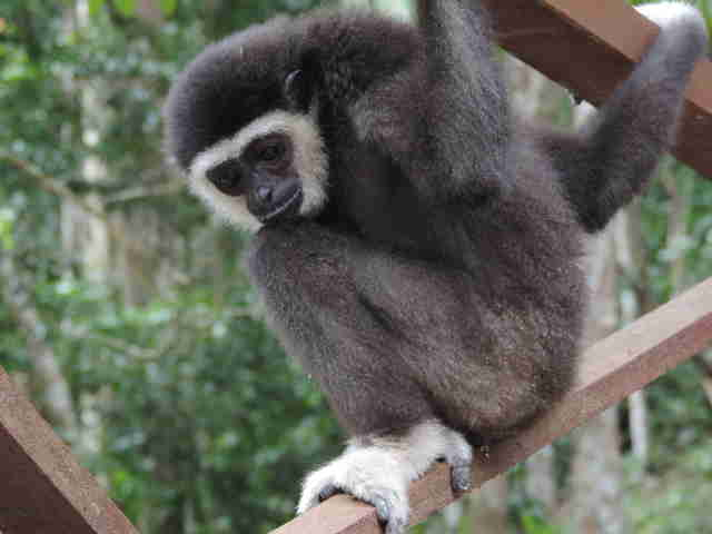 Rescued gibbon inside enclosure
