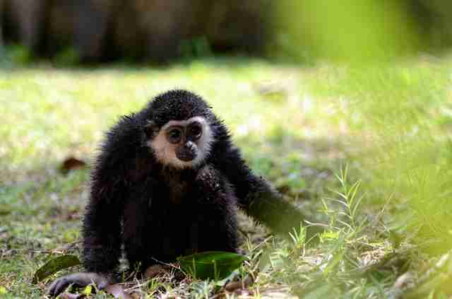 Wild gibbon sitting in grass