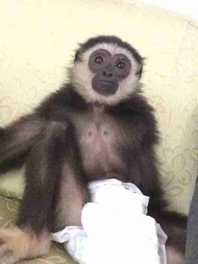 Gibbon sitting on floor with diaper on