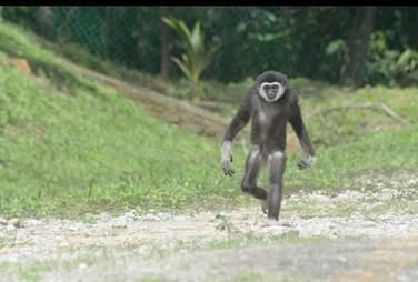 Gibbon walking through large natural enclosure