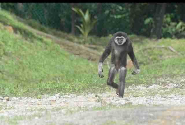 Gibbon walking through large natural enclosure