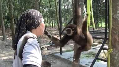 Gibbon touching woman's face