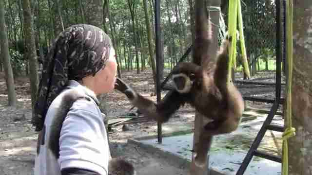 Gibbon touching woman's face