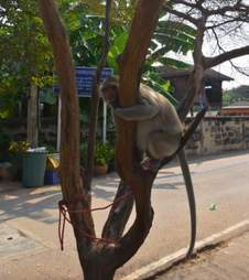 macaque monkey rescue pet
