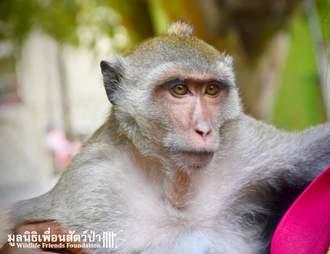 rescue macaque pet