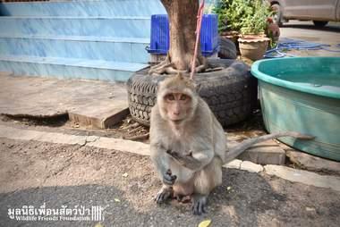macaque monkey pet thailand rescue