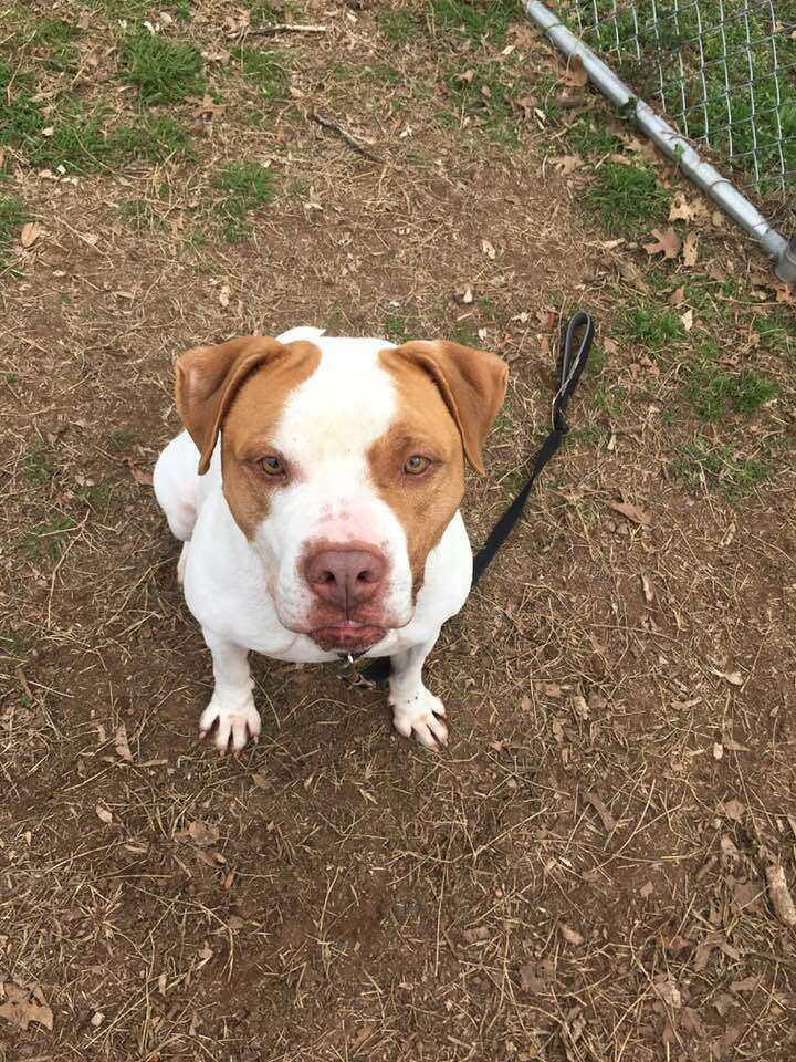 Pit bull dog out in yard of shelter