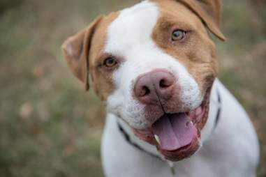 Pit bull dog with big smile