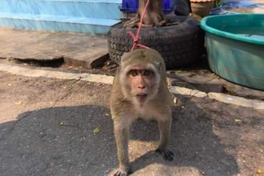 macaque pet monkey rescue