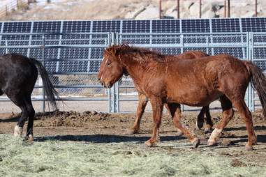 Famous mare Red Lady at BLM holding facility