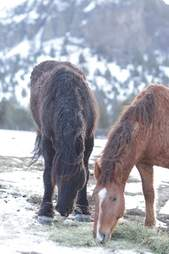 Reunited wild horses Goliath and Red Lady eating breakfast together