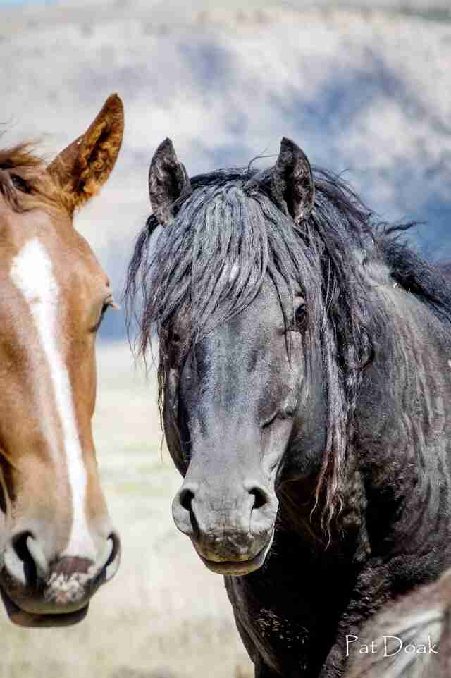 Reunited wild horse couple Goliath and Red Lady