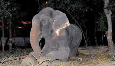 Elephant chained up outside