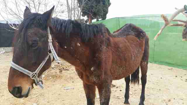 Skeletal mare rescued in Spain