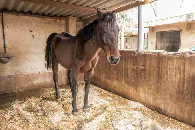 Skeletal mare saved by sanctuary in Spain