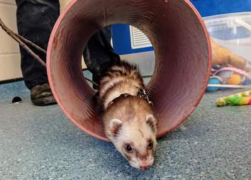 ferret found in bag of teddy bears