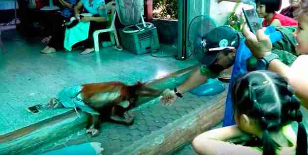 Baby-Orang-Utan-Missbrauch Thailand