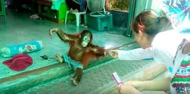 baby orangutan abuse chain thailand