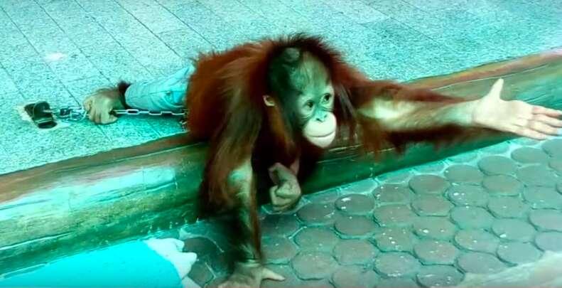 baby orangutan abuse thailand