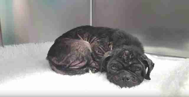pug used for breeding thrown from car