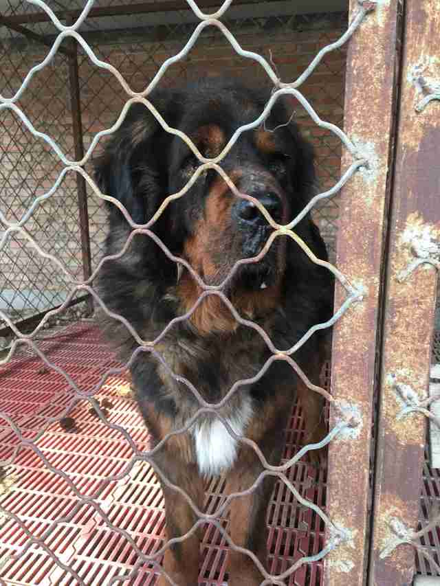 Tibetan mastiff inside a cage at a Chinese dog shelter