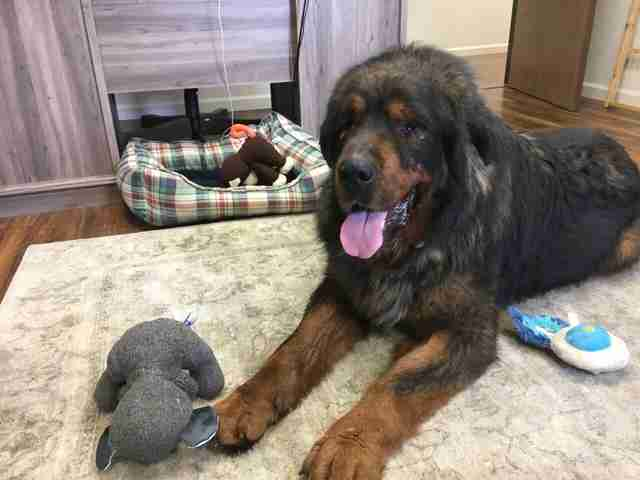 Tibetan mastiff sleeping on floor with stuffed animal