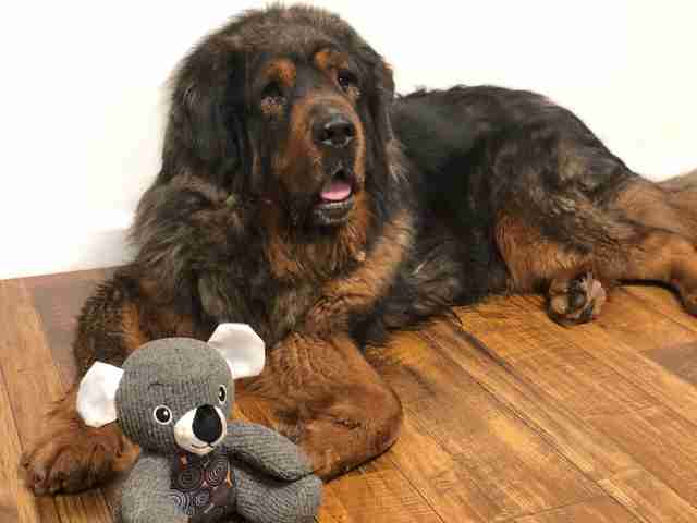 Tibetan mastiff with koala teddy bear