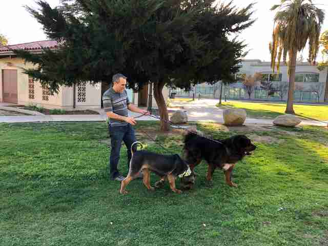 Man talking two Tibetan mastiffs outside