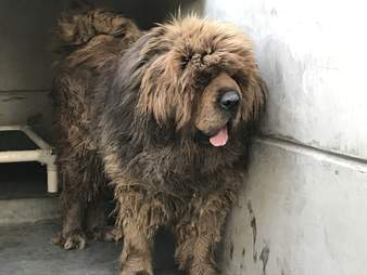 Tibetan mastiff inside a Chinese dog shelter