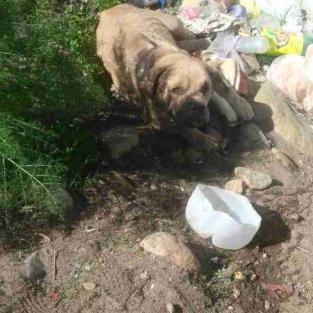 bulldog bait dog dumped rescue mexico