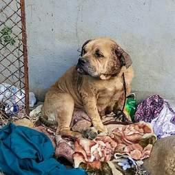 bulldog bait dog rescue mexico