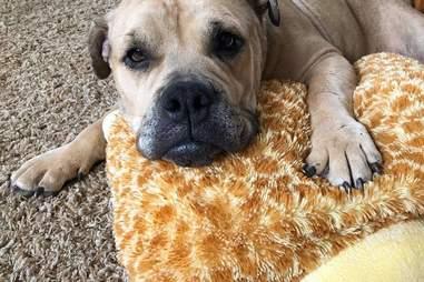 bulldog pit bull rescue california