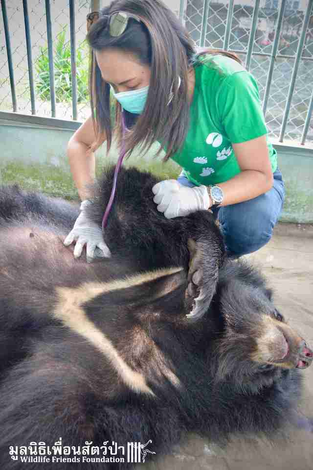 Rescuer examines 'pet' bear in Thailand