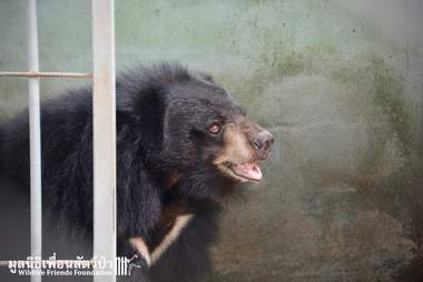 Rescuers arrive for 'pet' bear in Thailand