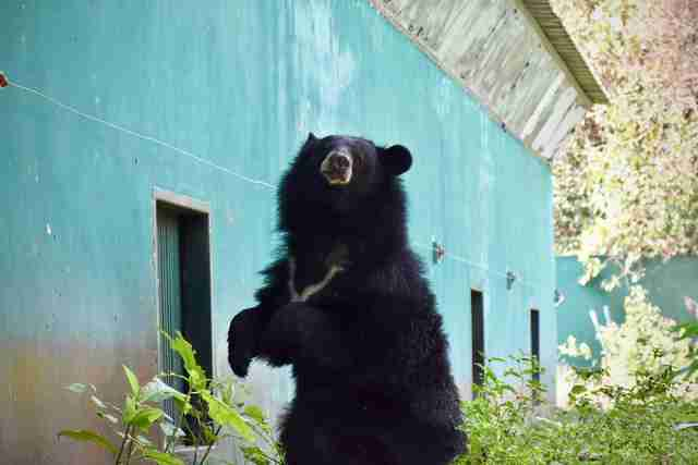 'Pet' bear arriving at sanctuary in Thailand