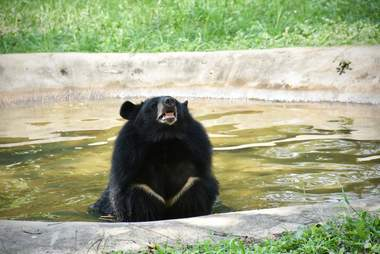 'Pet' bear swimming at sanctuary in Thailand